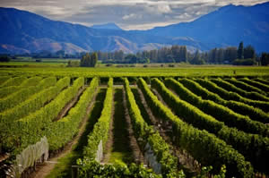 new zealand vineyard work photo